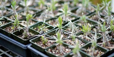 A Guide to Buying Plants vs. Seeds, Koolaupoko, Hawaii