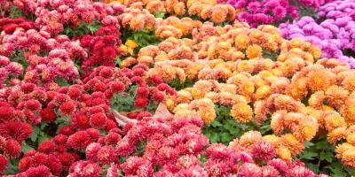 7 Types of Mums for Your Flower Arrangements, Port Jervis, New York