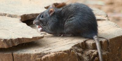 How to Tell the Difference Between Mice & Rats, Port Orchard, Washington