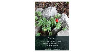 Purslane - Edible Weed, Brandon, Florida
