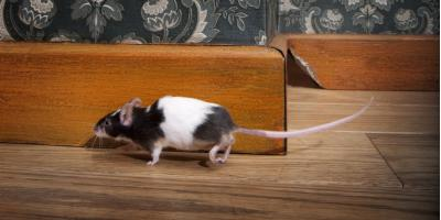 Pest Removal Experts Share Indicators of Rodent Infestation, Maineville, Ohio