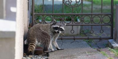 3 Common Questions About Raccoons Answered, New Milford, Connecticut