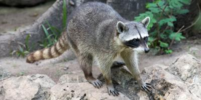 What Should You Do if You See a Raccoon During the Day?, Ogden, New York