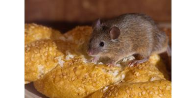 Do mice and rats nest in homes?, Mobile, Alabama