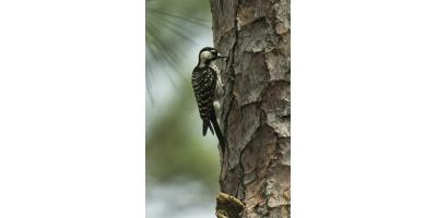 Meet Our Neighbor: The Red-cockaded Woodpecker, ,