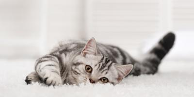 Rochester Veterinarian Explains the Benefits of Cat Dental Care, Penfield, New York