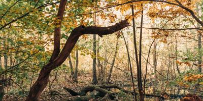 A Guide to Leaf Scorch Disease, Gates, New York