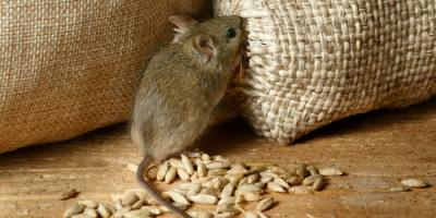 Why You Should Hire a Professional for Rodent Control, Russellville, Arkansas