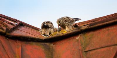 How to Keep Animals Off of Your Roof , McKinney, Texas