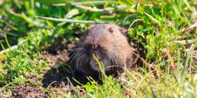 Try These DIY Gopher Control Tips Before Calling Pest Control Experts, Sutter Creek, California