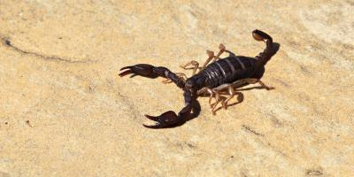 Why Scorpions Are Attracted to Your Home, Las Vegas, Nevada