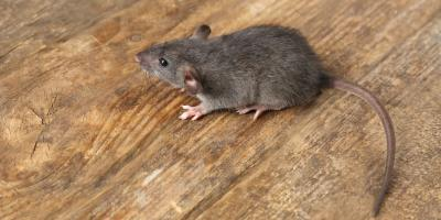 3 Common Places Rodents Love to Hide in Homes, Hamilton, Ohio
