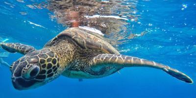3 Sea Turtles Native to Hawaii, Lahaina, Hawaii