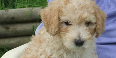 poodle for sale , Manhattan, New York