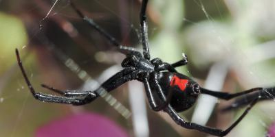 How to Identify 3 Types of Venomous Spiders, Port Orchard, Washington