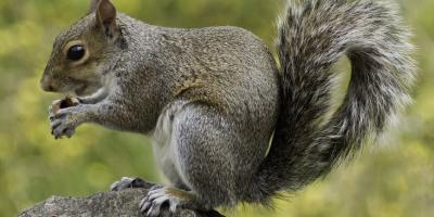 Squirrels in Your Attic? ...With Babies?, Miami, Ohio