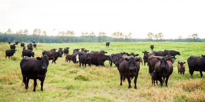Wagyu Steaks are back! Plus, Berkshire Pork and Cow Shares on the horizon. Yee-haw!, Chipley, Florida