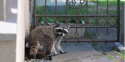 What You Should Know About Rabid Raccoons, Ogden, New York