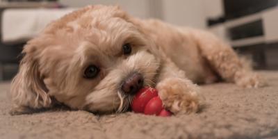 Dog Training needs Consistency, Praise, Patience and Practice , Manhattan, New York
