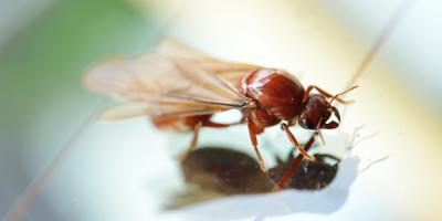 Honolulu's Termite Control Experts Explain the Difference Between Flying Ants & Termites, Honolulu, Hawaii