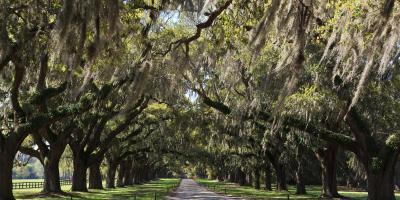 Celebrating Georgia's State Tree: the Southern Live Oak, Lilburn, Georgia