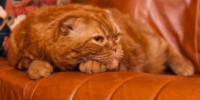Why Are Cats Attracted to Leather Furniture & What Can You Do About It?, Covington, Kentucky