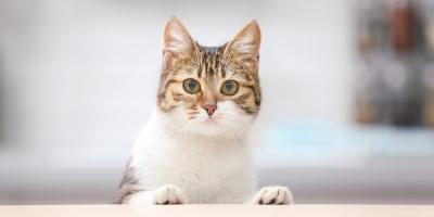 Honolulu Veterinarians Explain 5 Feline Behaviors, Honolulu, Hawaii