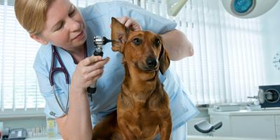 A Guide to Preventing Canine Ear Infections, ,