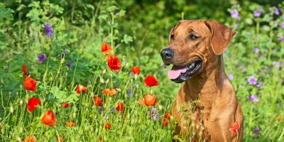 Springtime Allergies & Your Dog, Ewa, Hawaii