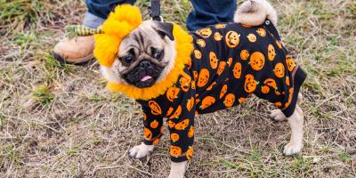 What to Consider Before Dressing Your Dog for Halloween, Ewa, Hawaii