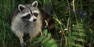 How to Keep Raccoons off Your Property, New Milford, Connecticut