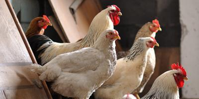 4 Factors to Consider When Buying a Chicken Coop, Union, Ohio