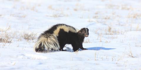 Do Skunks Hibernate?, New Milford, Connecticut