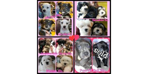 Puppies Available Today!, Ewa, Hawaii