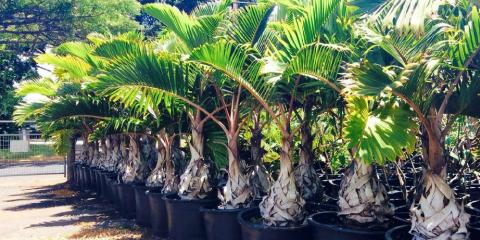 Do You Want To Grow Palm Trees In Your Yard Here S How South Maui Gardens Kihei Nearsay