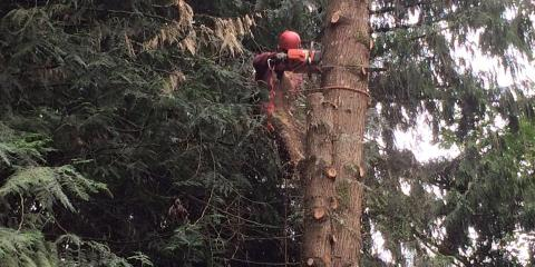 Preparing Trees for Winter, Northwest Clackamas, Oregon