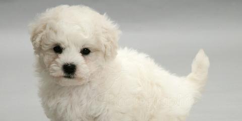 bichon frise puppies, Manhattan, New York