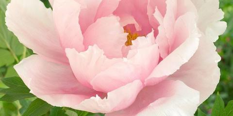 Peonies: A Flower in High Demand at CitiFloral , Manhattan, New York