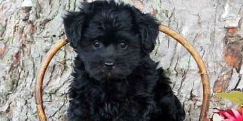 yorkie poo for sale , Manhattan, New York