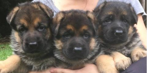 5 Mistakes New Puppy Parents Should Never Make, Hilo, Hawaii