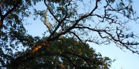 Summer Leaf scorch, Northwest Clackamas, Oregon