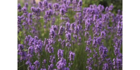 Explore The Benefits of Lavender: One of Summer's Favorite Essential Oils, Wheatland, Wyoming