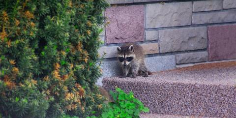 Your Guide to Dealing With Raccoons in Your Attic, New Milford, Connecticut
