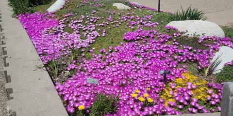 Purple Ice Plant, Parker, Colorado