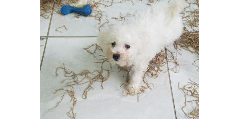Bichon for sale , Manhattan, New York