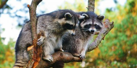3 Reasons to Consider Raccoon Removal, Grand Rapids, Wisconsin