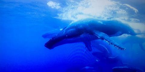 The History You Should Know Before You Go Whale Watching, Kekaha-Waimea, Hawaii