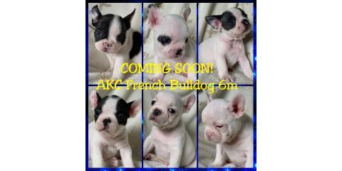 French Bulldogs!, Ewa, Hawaii