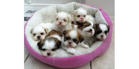 lovely puppies, Manhattan, New York