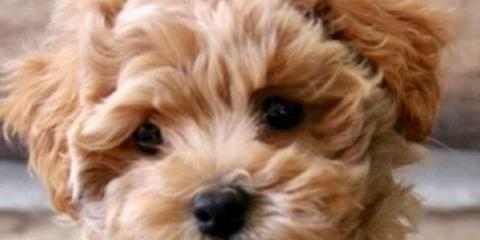 poodle cavalier mix for sale , Manhattan, New York